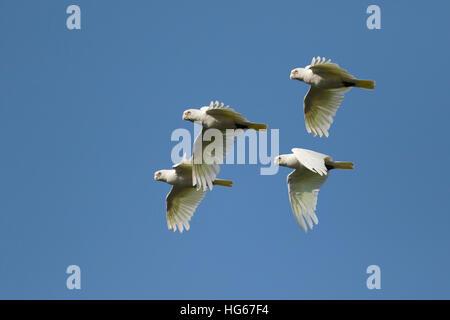 Little Corella - flock in flight Cacatua sanguinea Kakadu National Park Northern Territory, Australia BI029806 - Stock Photo