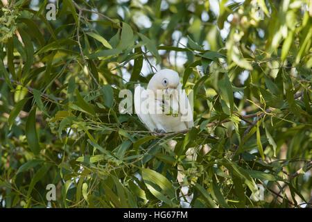Little Corella - feeding Cacatua sanguinea Kakadu National Park Northern Territory, Australia BI029809 - Stock Photo