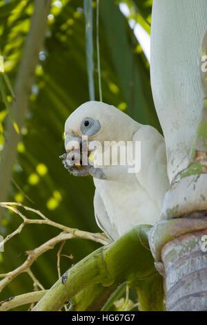 Little Corella - feeding Cacatua sanguinea Kakadu National Park Northern Territory, Australia BI029814 - Stock Photo