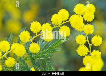mimosa acacia dealbata flowers stock photo royalty free image 47809846 alamy. Black Bedroom Furniture Sets. Home Design Ideas
