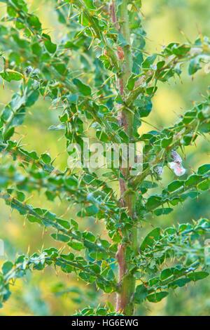 Branche of Wattle (Acacia paradoxa = Acacia armata) - Stock Photo