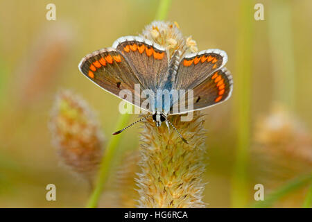aricia agestis butterfly, Brown Argus - Stock Photo