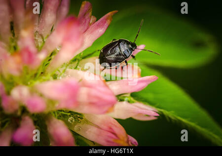 Beetle bug sits on a pretty pink flower on a beautiful summer day in a park. - Stock Photo