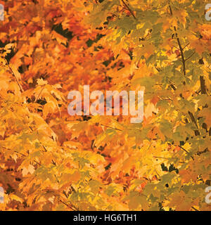 Abstract red and golden maple leaves in autumn background, large detailed vibrant colorful closeup - Stock Photo