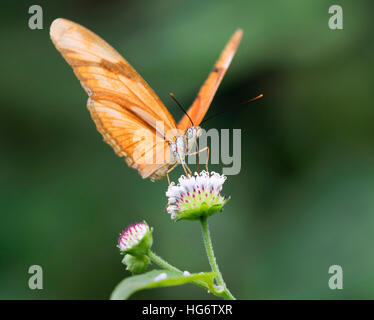 Julia Heliconian (Dryas iulia) feeding on a flower, Belize, Central America - Stock Photo