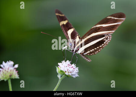 Zebra Longwing Butterfly (Heliconius charitonius) feeding on a flower, Belize, Central America - Stock Photo
