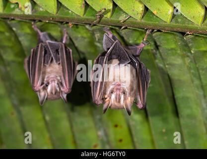 Pygmy fruit-eating bats (Dermanura or Artibeus phaeotis) roosting under palm leaf in rainforest, Belize, Central - Stock Photo