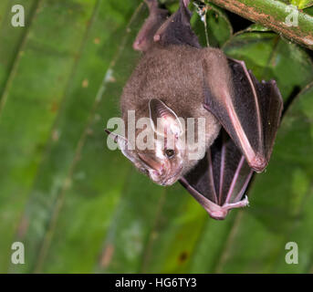 Pygmy fruit-eating bat (Dermanura or Artibeus phaeotis) roosting under palm leaf in rainforest, Belize, Central - Stock Photo