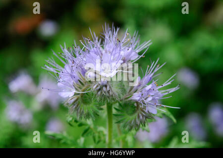 Phacelia tanacetifolia - Stock Photo