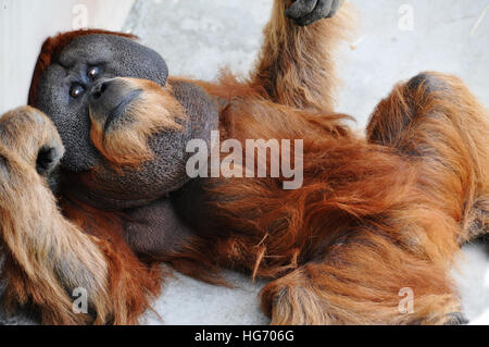 Young male orangutan in captivity, laying on his back looking at the camera. - Stock Photo