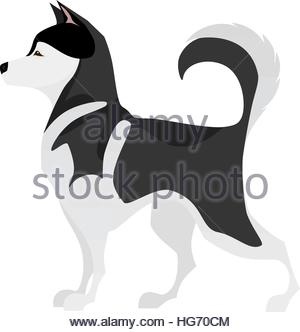 Isolated adorable black and white young Husky - Stock Photo