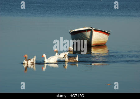 Group of ducks swimming on the lake in front of a fishing boat - Stock Photo