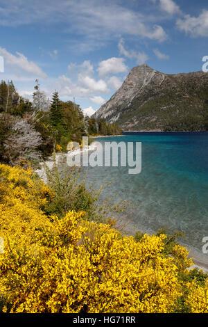 Yellow Broom on Lake Nahuel Huapi, near Bariloche, 7 Lakes Drive, Nahuel Huapi National Park, The Lake District, - Stock Photo