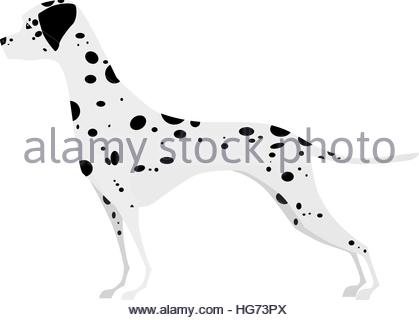 Adorable young Dalmatian standing in profile of white background - Stock Photo