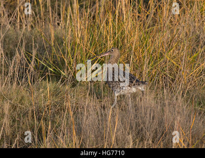 Eurasian Curlew, Numenius arquata, adult, in long grass with crab, Morecambe Bay, Lancashire, England, UK - Stock Photo