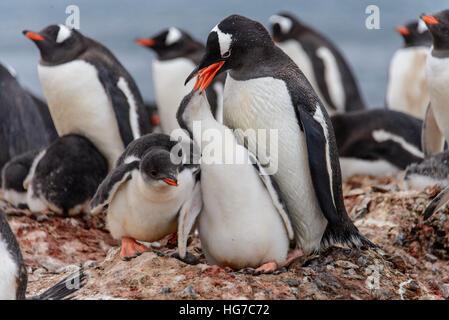Gentoo penguin with chicks - Stock Photo