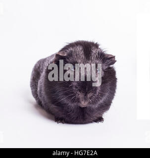 Guinea Pig - Black Guinea Pig isolated on white background - Stock Photo