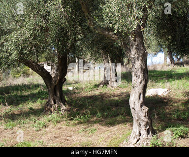 An olive grove near Karousades, Corfu, Greece with wooden hut in distance - Stock Photo