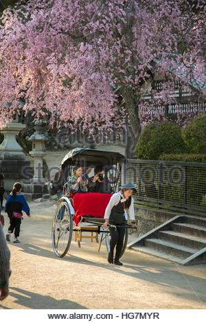 A tourist couple riding in rickshaw below a tree full of cherry blossoms. - Stock Photo
