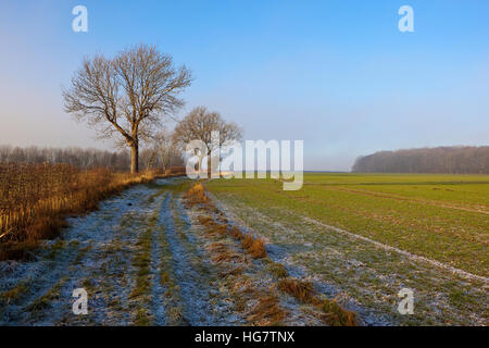 A frost covered footpath with Ash trees in a hedgerow by arable crops in a Yorkshire wolds landscape in winter. - Stock Photo