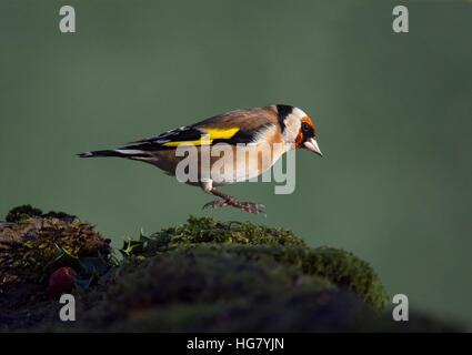 Goldfinch, Carduelis carduelis, jumping on moss covered stone in Wareham, Dorset, England, UK - Stock Photo