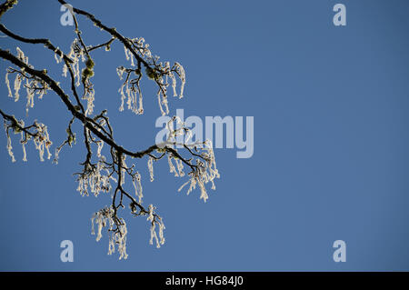 Frost on sycamore tree, Beulah, Powys, Wales - Stock Photo