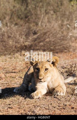 Lion cub, ( Panthera Leo ), South Africa - Stock Photo