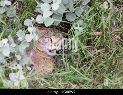 African Wildcat ( Felis silvestris lybica ) also called the Near Eastern Wildcat, South Africa - Stock Photo