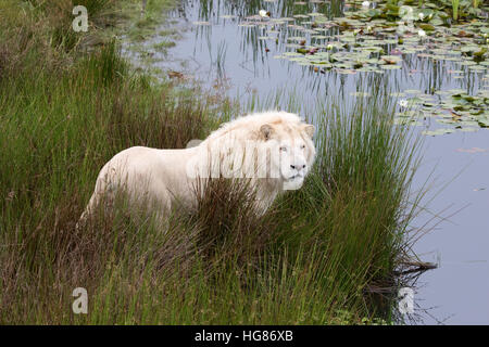 Adult male white lion ( Panthera leo krugeri ),  Tenikwa Wildlife Awareness Centre, South Africa - Stock Photo