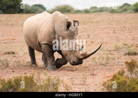 Wild adult male White Rhino ( Ceratotherium simum ), South Africa - Stock Photo