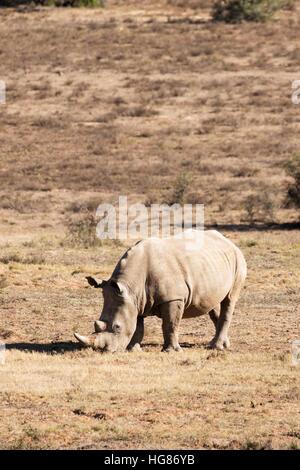 White rhino, adult female, ( Ceratotherium simum ), South Africa - Stock Photo