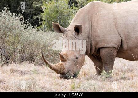 Adult female White Rhinoceros, Ceratotherium Simum, South Africa - Stock Photo