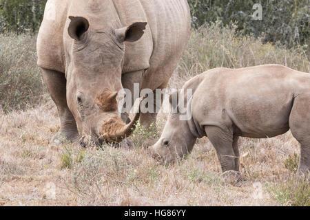 Wild female white rhino and 2 month old white rhino calf  ( Ceratotherium simum ),  grazing, South Africa - Stock Photo