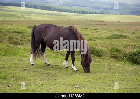 Dartmoor Pony, single adult grazing on moorland, Dartmoor National Park, Devon, UK - Stock Photo