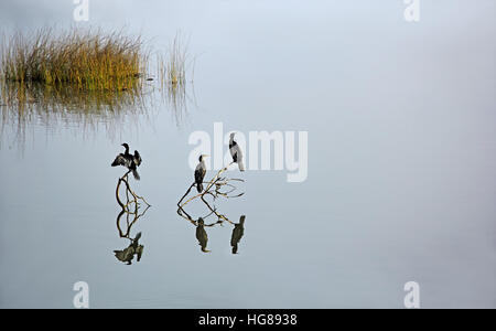 Three cormorants, bird family of Phalacrocoracidae, sitting on dead branches in a tranquil lake, waiting to dive - Stock Photo