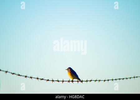 Robin perching on barb wire against clear sky - Stock Photo
