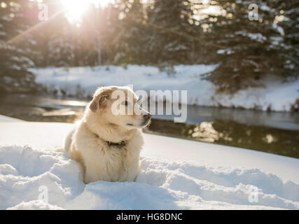 Dog looking away while relaxing on snowy field by river - Stock Photo