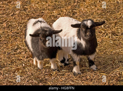 Two very young black and white Tennessee fainting goats(Capra aegagrus hircus) - Stock Photo