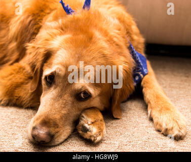 Golden retriever dog laying on a carpet. - Stock Photo