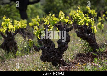 Weinrebe, Wein, Weintraube, Weintrauben, Wein-Rebe, Weinanbau, Anbau, Weinberg, Weinstock, Weinstöcke schlagen im - Stock Photo