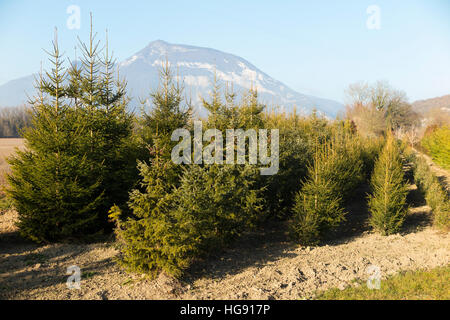 grow a christmas tree trees growing xmas trees being grown cultivated by french grower - Christmas Tree Farming