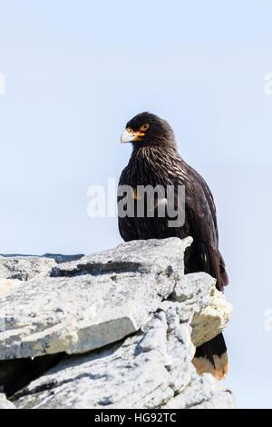 Striated caracara on Carcass Island in the Falklands - Stock Photo
