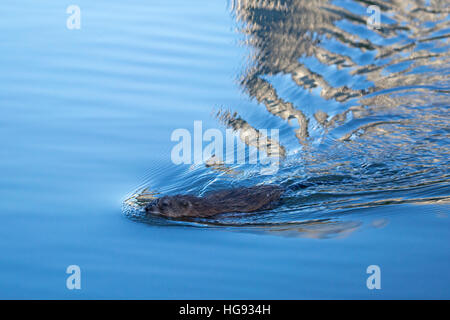 Muskrat (Ondatra zibethicus) swimming - Stock Photo