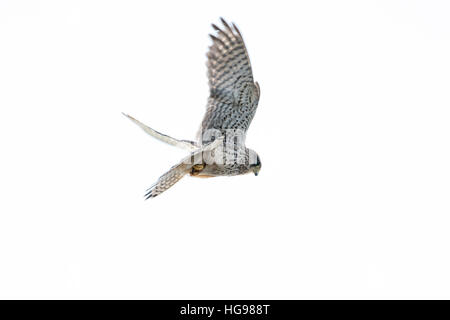 Female common kestrel (Falco tinnunculus) in flight against a white background - Stock Photo