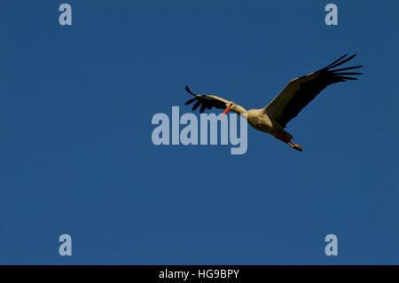 stork in flight on a background of blue sky - Stock Photo