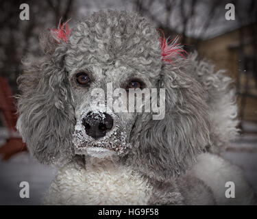 portrait of a poodle dog playing in the winter snow - Stock Photo