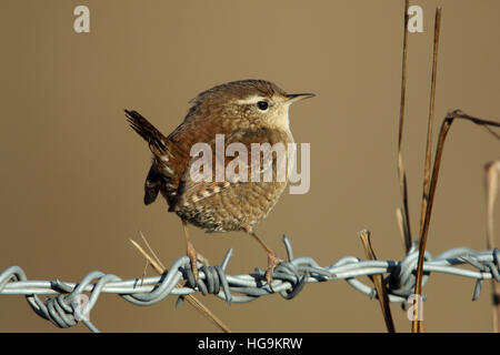 Eurasian Wren Troglodytes troglodytes male in winter plumage perched on a barbed wire fence - Stock Photo