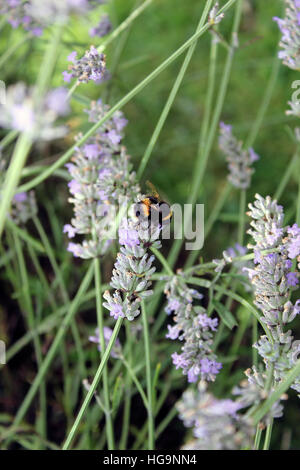 Bumblebee taking pollen from lavender plants - Stock Photo