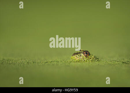 A small frog surfaced through the bright green duckweed to reveal its large eye. - Stock Photo