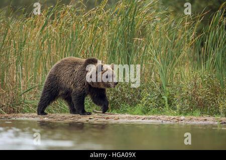 European Brown Bear / Europaeischer Braunbaer ( Ursus arctos ) , young cub, walking along the riverside in front - Stock Photo